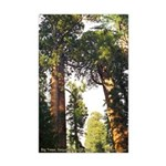 Sequoia Trees--mini poster