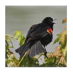 Redwing Singing Tile Coaster