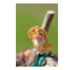 Syrah Grape Leaf Bud - Postcards (Package of 8)