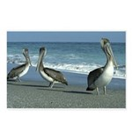 three pelicans on the beach Postcards (Package of