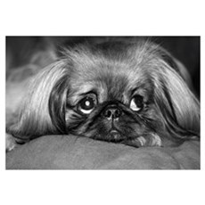 Dog - Pekingese #1 Canvas Art