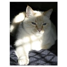 Flame Point Cat Poster
