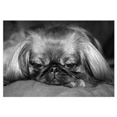Dog - Pekingese #2 Canvas Art