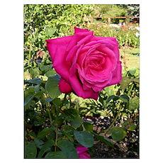 """Maria Callas"" rose Poster"
