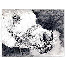 Grey arabian stallion Poster