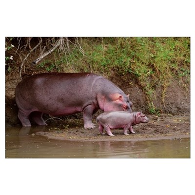 African Hippo Mom and Baby Poster