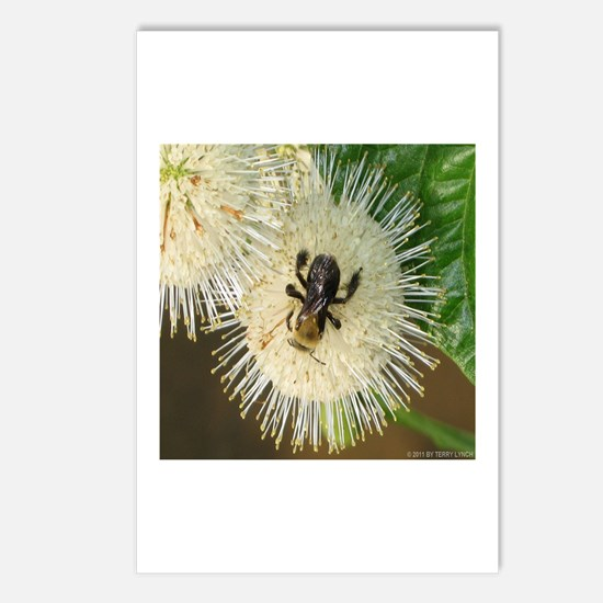 Bee on Buttonbush Postcards (Package of 8)