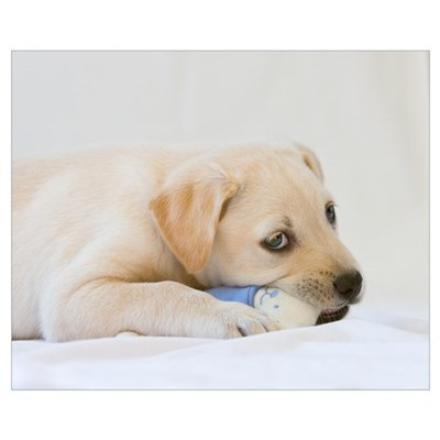 Labrador Puppy Dog Framed Print