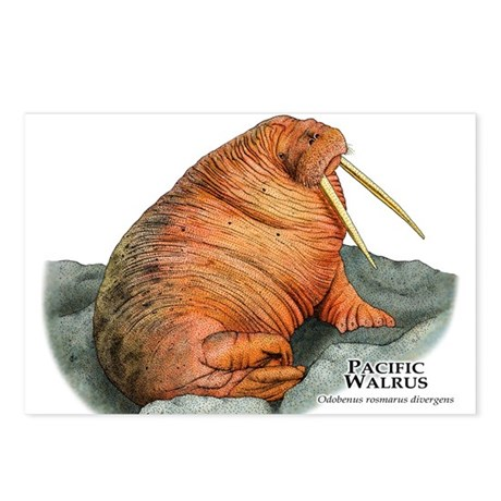 Pacific Walrus Postcards (Package of 8)