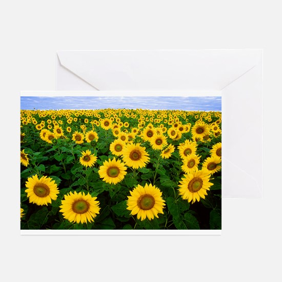 Sunflowers in field Greeting Cards (Pk of 10)