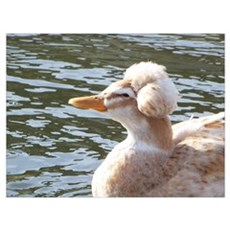 Crested Duck Poster