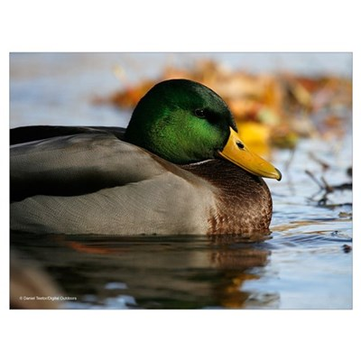 Resting Duck Photo Poster