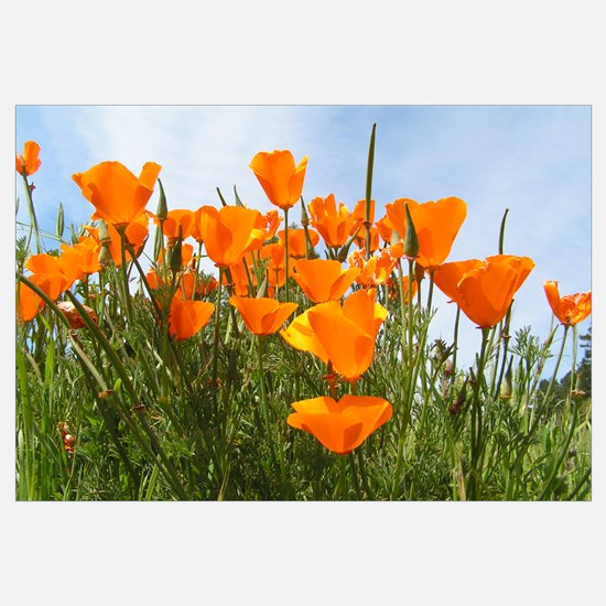 Poppies Landscape