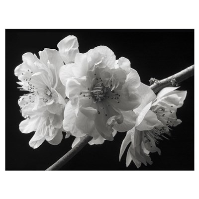 Cherry Blossoms Black and White Poster