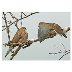 Mourning doves at rest Poster
