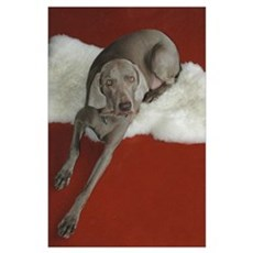 Beautiful AKC Champion Weimaraner photo Poster