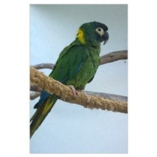 Yellow Collared Macaw Poster