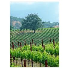 favorite scrub oak in vineyard spring 2002 photo Poster