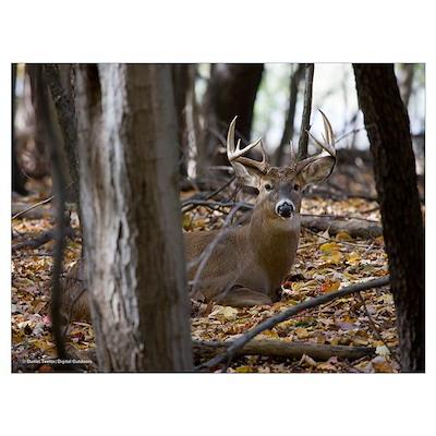 Whitetail Deer-Buck Poster