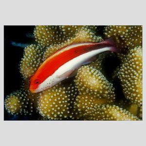 Freckled Hawk Fish