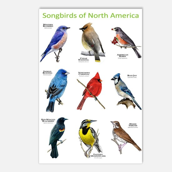 Songbirds of North America Postcards (Package of 8