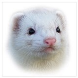 Ferret Framed Prints