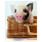 Pig Posters