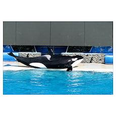Helaine's Orca (Killer Whale) Poster