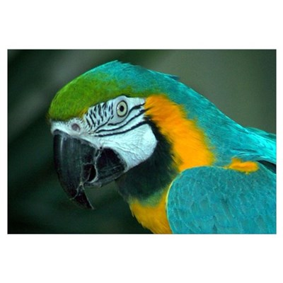 Macaw Closeup Canvas Art