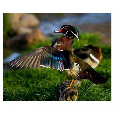 Wood Duck Wing Canvas Art