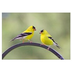 Goldfinches Canvas Art