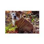 Bulldog Puppy Rectangle Magnet (10 pack)