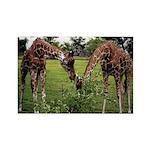 2 Giraffes Eating - Rectangle Magnet