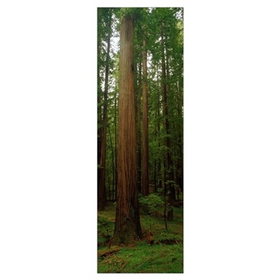 Giant Redwood Trees Ave of the Giants Redwood Nati Canvas Art