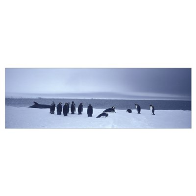 Emperor Penguins Ross Sea Antarctica Poster