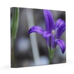Blue-Eyed Grass Flower 12x12 Canvas Print