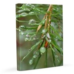 Water Droplets On Fir 11x14 Canvas Print