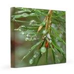 Water Droplets on Fir 12x12 Canvas Print