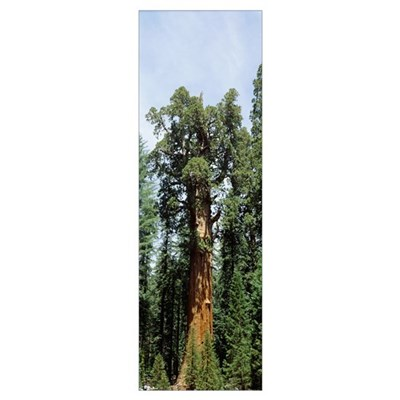 General Sherman Tree Sequoia National Park CA Poster