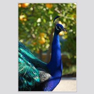 Peacock 5560 - Large Poster