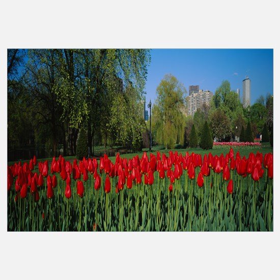 Tulips in a garden, Boston Public Garden, Boston,
