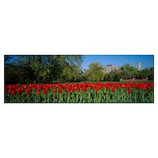 Tulips in a garden, Boston Public Garden, Boston,  Poster
