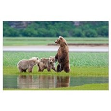 Coastal Brown Bear sow with her two cubs at Hallo  Poster