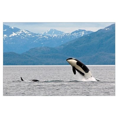 View of an Orca from the AT1 Transient Pod jumping Poster
