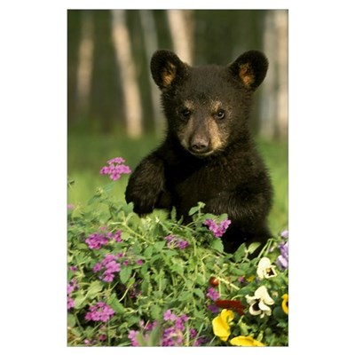 Captive Black Bear Cub Playing In Flowers Minnesot Poster