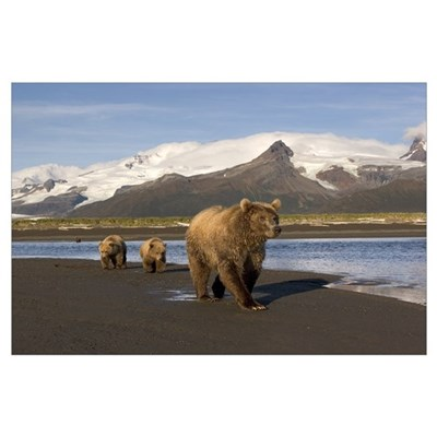 Grizzly sow and cubs walking on beach at Hallo Bay Poster