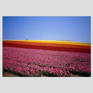 Field of Flowers, near Encinitas, California