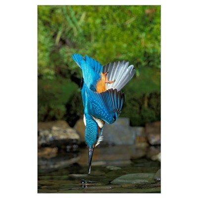 Diving Kingfisher Poster