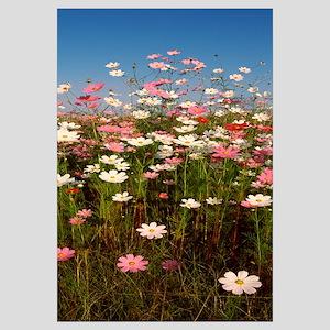 Mexican asters Cosmos bipinnatus blooming in a fie