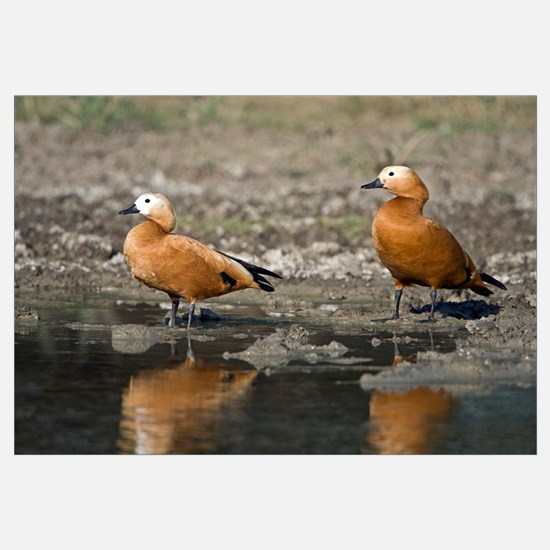 Close up of two Ruddy shelduck Tadorna ferruginea